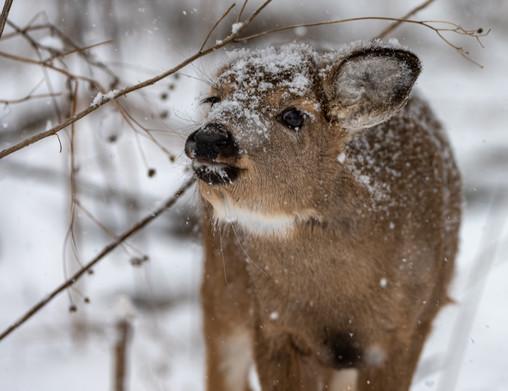 Doe in snow - @CharlesMarshPhotography