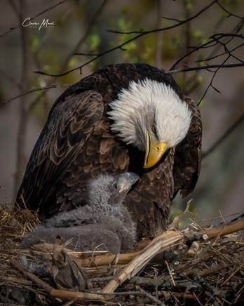 Bald Eagle feeding baby - @CharlesMarshPhotography