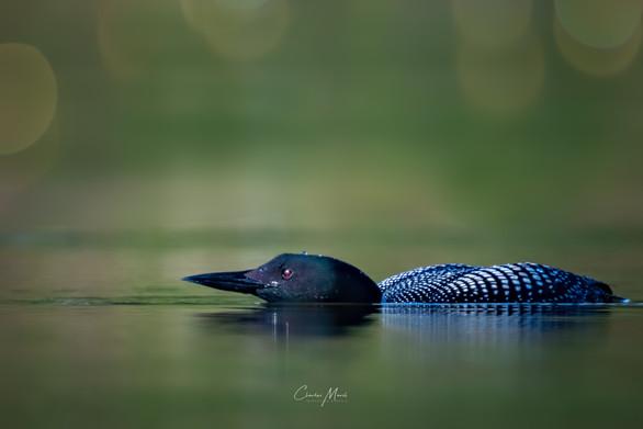 Loon hunting - @CharlesMarshPhotography