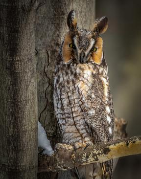 Long Eared Owl - @CharlesMarshPhotography