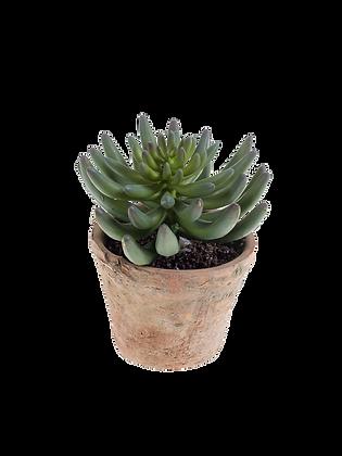 Plante ECHEVERIA vert