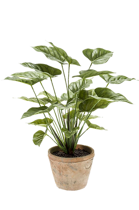 Plante ANTHURIUM BUSH vert