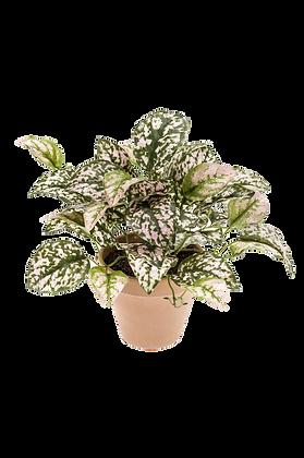 Plante HYPOESTES BUSH vert moucheté