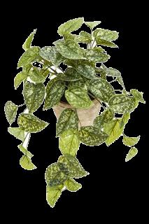 Plante SCINDAPSUS vert moucheté