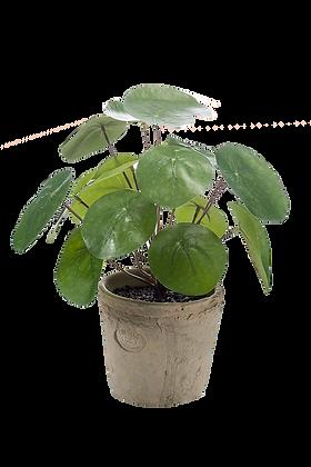 Plante Pilea vert