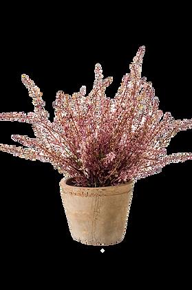 Plante Erica Bush rose
