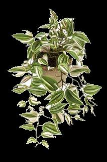 Plante TRADESCANTIA vert