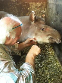 Tapir met tandfistel