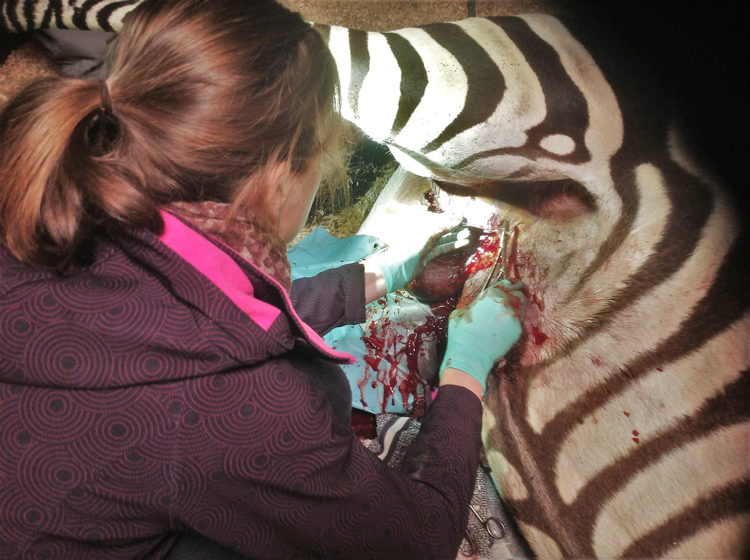Gezwel bij een zebra