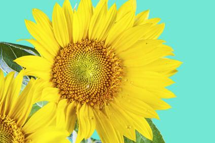 sunflower_XS.jpg