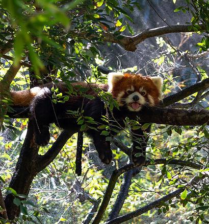 Zoo roter Panda 2018 Logo 16-9.jpg