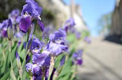 Iris dans les rues d'Auvers ©JLPP