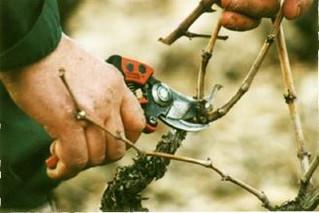 "SAMEDI 11 MARS - Atelier ""Taille de la vigne"""