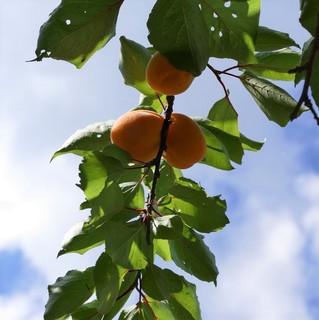 EN JUIN - C'est la saison des abricots, vive les confitures !