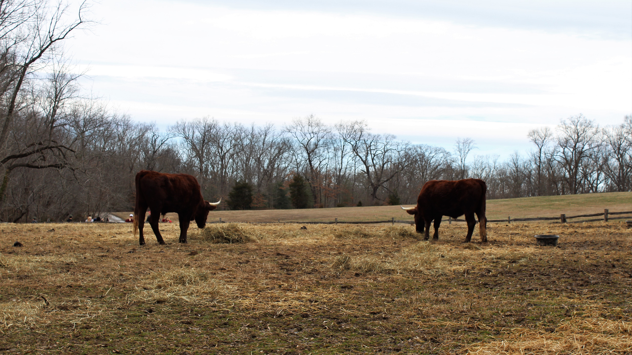 Heritage Breed Cattle