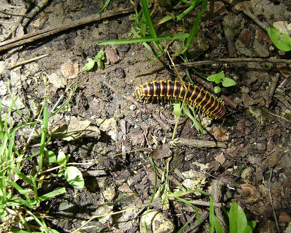 Centipeede