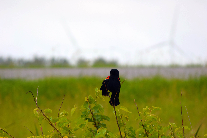 Blackbird&Windmills