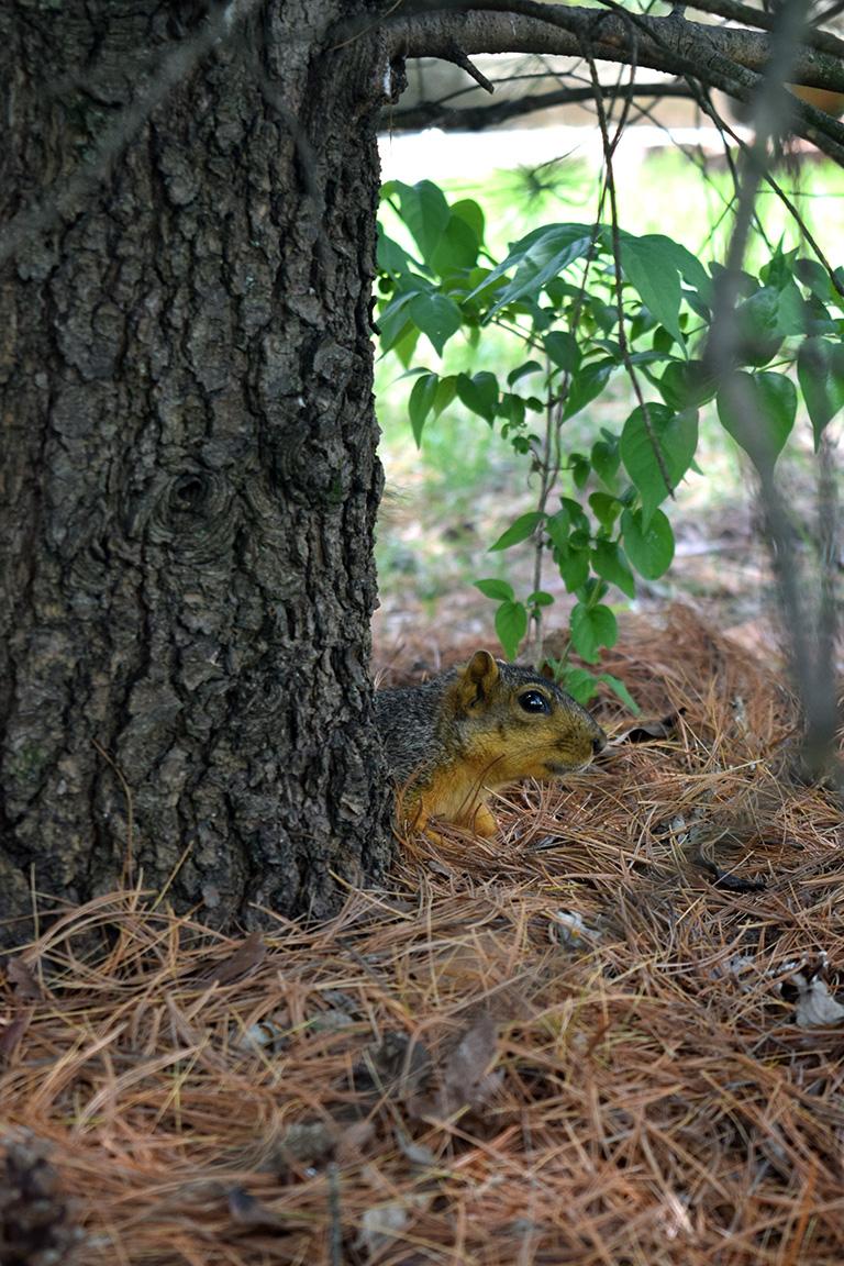 Peeking Squirrel2
