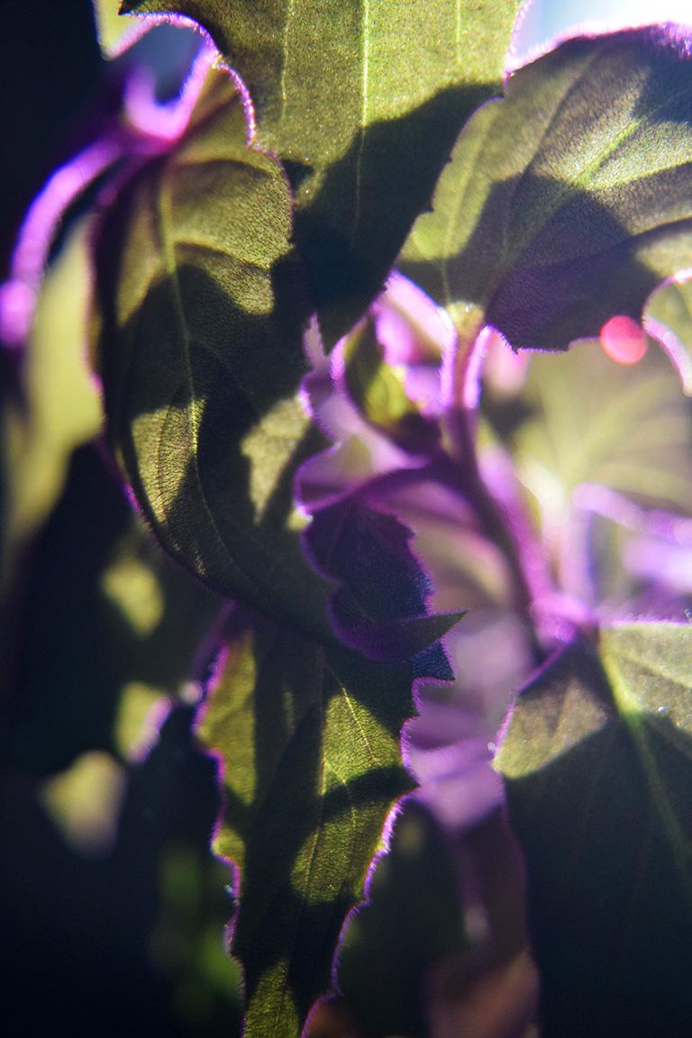 PurplePassionLO8946