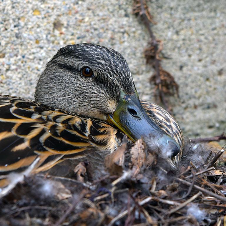 Sittin' Duck