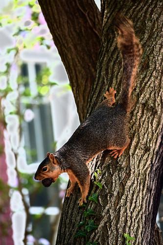 squirrely walnut