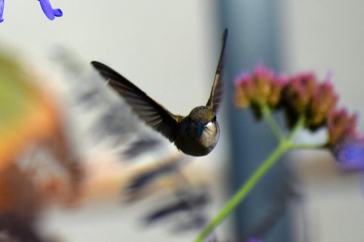 Hummingbird SWOOP