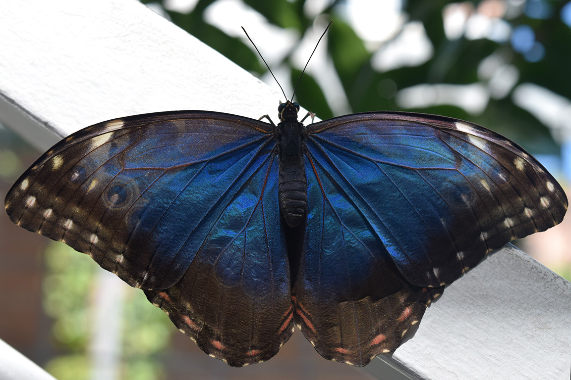 Blue Shimmer Butterfly