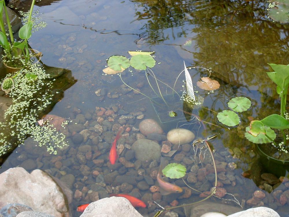 goldfish in my pond