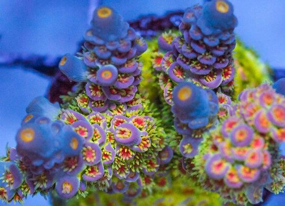 Vivid Aquarium Badfish