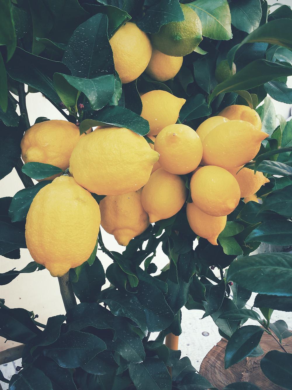 faithful pruning family lemon tree