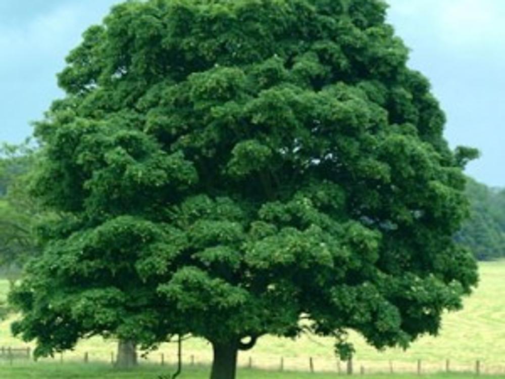 big-oak-tree-300x294