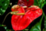 Picture of a green anole lizard on a Gemini anthurium in Tampa, Florida's Eureka Springs Park as a fine art nature print for the wall of your home or office.