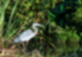 Great blue heron as a fine art nature print for the walls of our home or office.