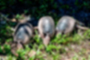 Picture of three young nine-banded armadillos as a fine art nature print for the wall of your home or office.