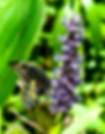Picture of a black swallowtail butterfly on a pickerelweed flower as a fine art nature print for the wall of your home or office.