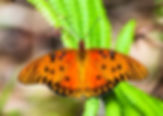 Picture of a gulf fritillary buttery, also known as the passion butterfly, as a fine art nature print for the wall of your home or office.