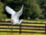 Picture of a cattle egret flying over a Sumter County, Florida horse penas a fine art nature print for the wall of your home or office.