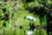 Picture of a wood stork in a rookery in Brandon, Florida as a fine art nature print for the wall of your home or office.