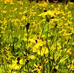 A Burst Of Yellow DA.jpg