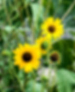 Picture of a sunflower as a fine art nature print for the walls of your home or office.