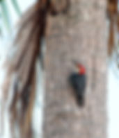 Picture of a red-bellied woodpecker on a palm tree in Tampa's Picnic Island Park as a fine art nature print for the wall of your home or office.
