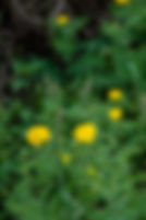 Picture of Mexican prickly poppy growing on a roadside near Bradley in Polk County, Florida as a fine art nature print for the wall of your home or office.
