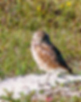 A burrowing owl as a fine art nature print for the walls of your home or office.