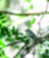 Picture of a bay-breasted warbler in a tree in Tampa, Florida's Lettuce Lake Park as a fine art nature print for the walls of your home or office.