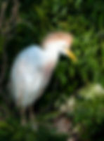 Picture of an adult cattle egret in breeding plumage in a rookery near Kissimmee, Florida as a fine art nature print for the wall of your home or office.
