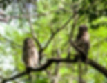 Picture of two newly fledged barred owls in a tree in Tampa, Florida's Lettuce Lake Park as a fine art nature print for the wall of your home or office.