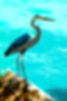 Digital picture of a great blue heron on a jetty as a fine art nature print for the wall of your home or office.