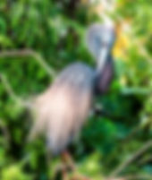 Picture of a preening tri-colored heron in a rookery near Kissimmee, Florida as a fine art nature print for the wall of your home or office.