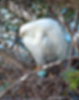 Picture of a snowy egret in her nest with eggs at a rookery near Kissimmee, Florida as a fine art nature print for the wall of your home or office.