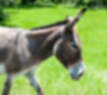 Picture of a pregnant donkey in a northwestern Hardee County, Florida pasture as a fine art print for the wall of your home or office.
